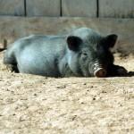Pig in Laos
