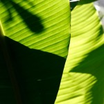 Banana leaves in Costa Rica