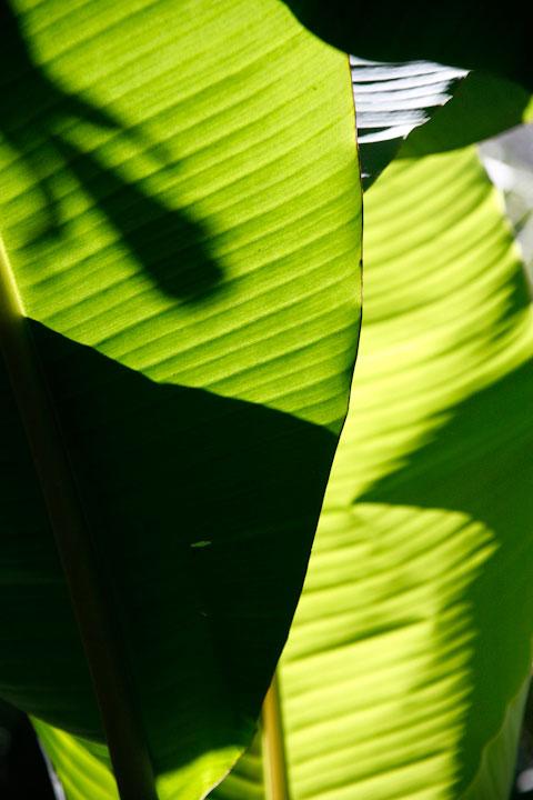 Banana leaves in Costa Rica