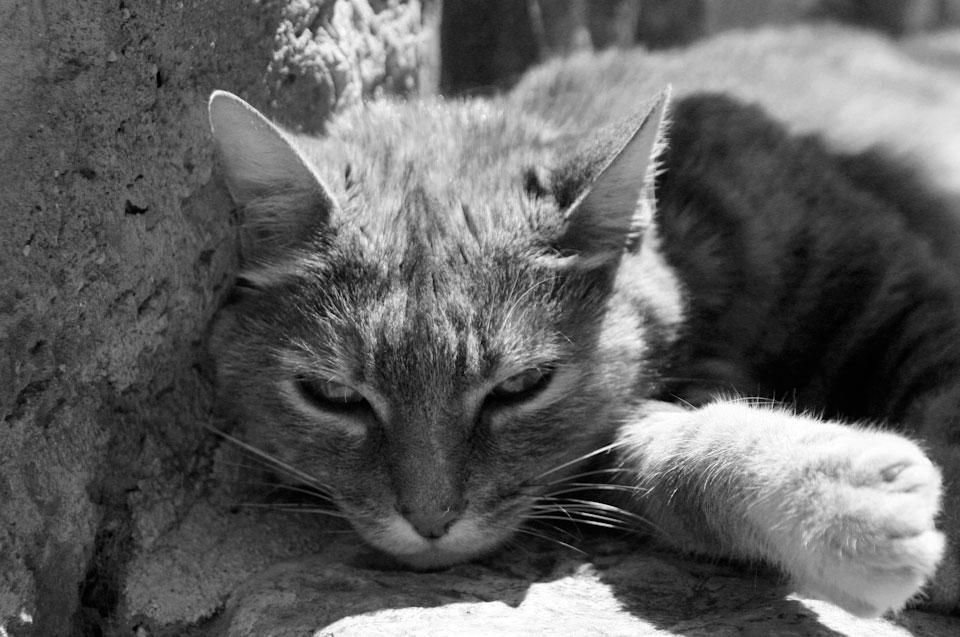 Mature cat, Tourettes sur Loup, France